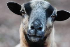 Schafe/Ziegen